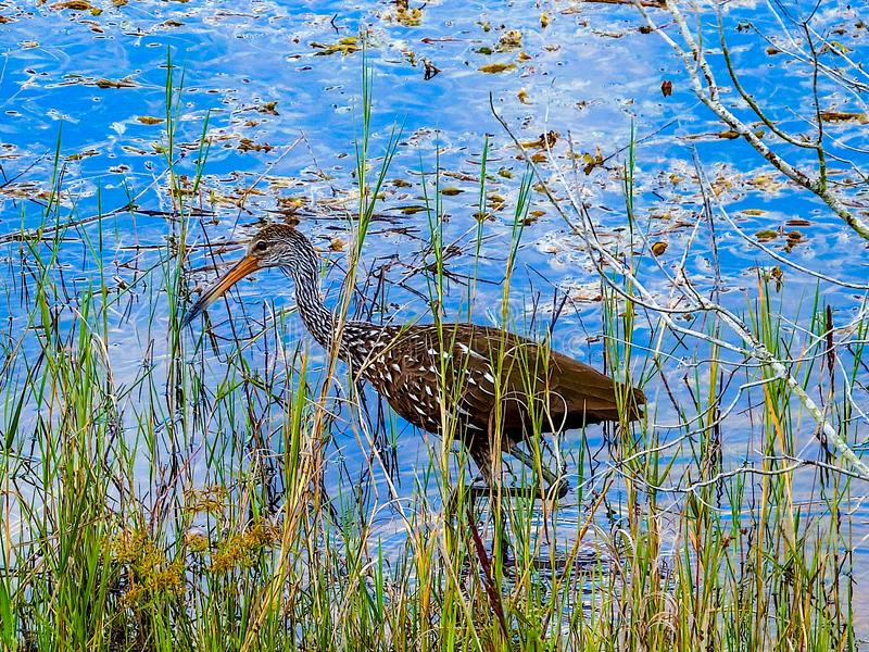 Limpkin, σαλιγκάρια μήλων κυνηγιού σε μια τροπική λίμνη στοκ φωτογραφία με δικαίωμα ελεύθερης χρήσης