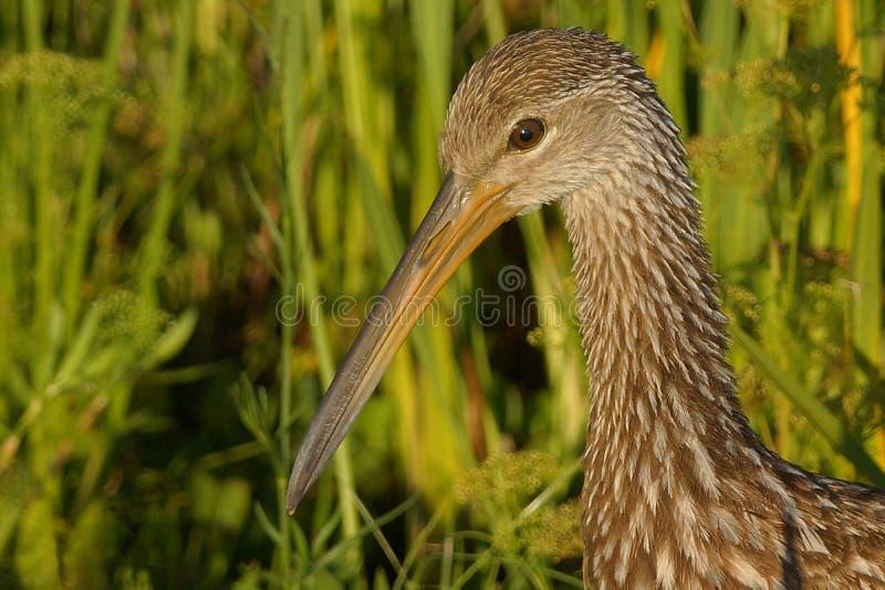 Limpkin. Close-up of a Limpkin bird stock photo