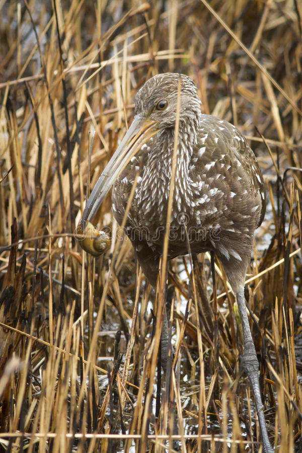 Limpkin with apple snail stock photo