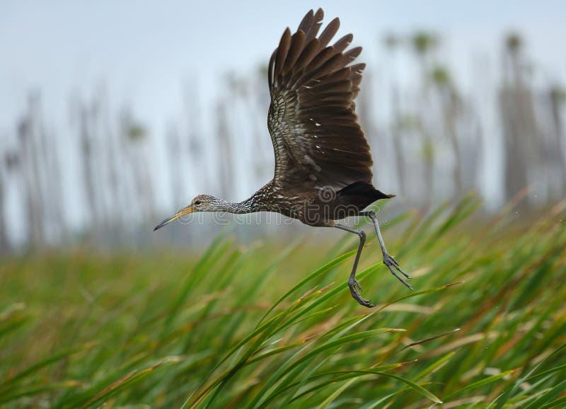 Limpkin che decolla in Orlando Wetlands Park, Florida immagini stock