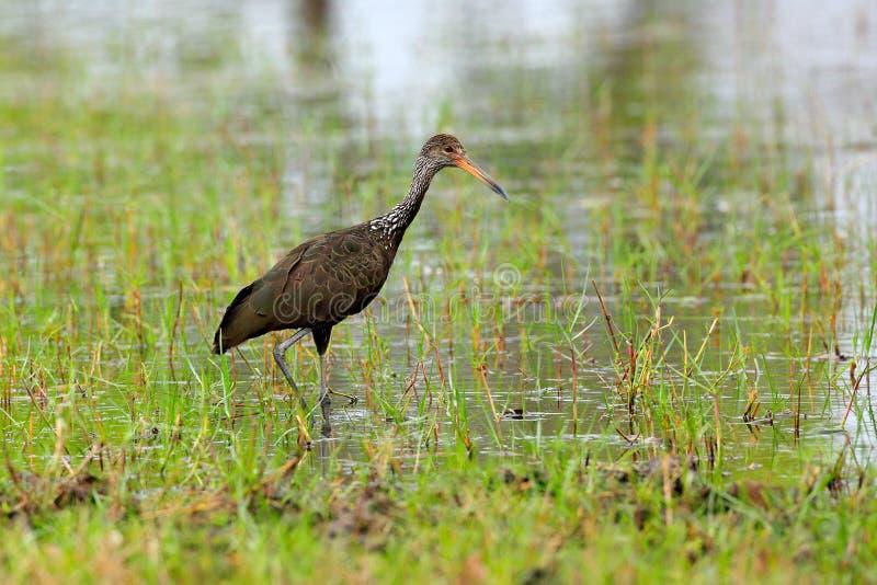 Limpkin courlan, Aramus guarauna, bird in water grass. Evening sun, motteled bird with evening back light, in the nature habitat, royalty free stock photos