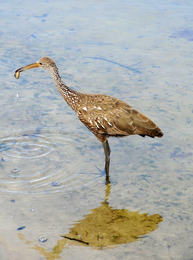 Limpkin in a lake