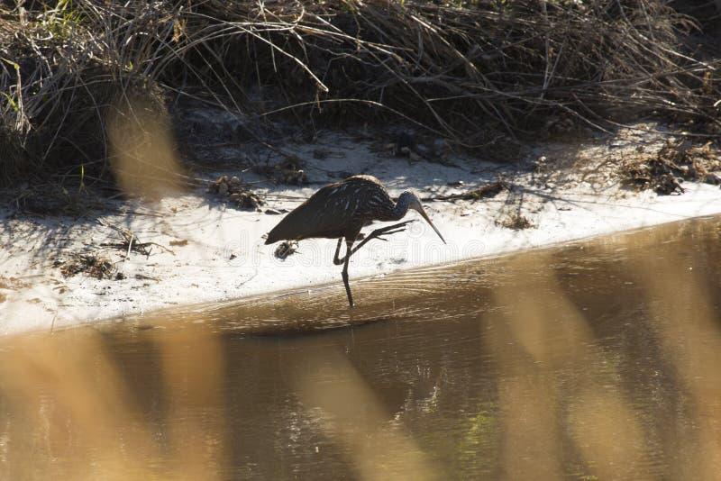 Limpkin que vadea a lo largo del canal en el parque de Kissimmee del lago, la Florida imagen de archivo