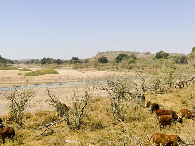 Limpopo river crossing the desert landscape of Mapungubwe Nation. Al Park, travel destination in South Africa. Braided Acacia and huge Baobab trees with red stock image