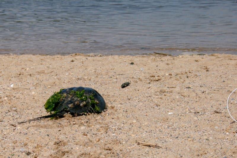 Limulo su Rocky Beach immagini stock