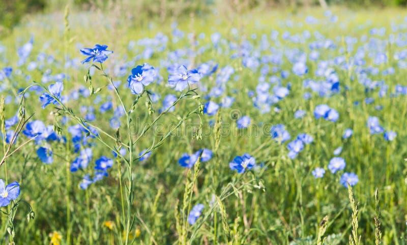 Lin som blommar i vår på en äng royaltyfri foto