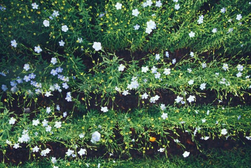 Lin textile de floraison Un champ avec des sillons Le concept de l'agriculture qui respecte l'environnement photographie stock libre de droits