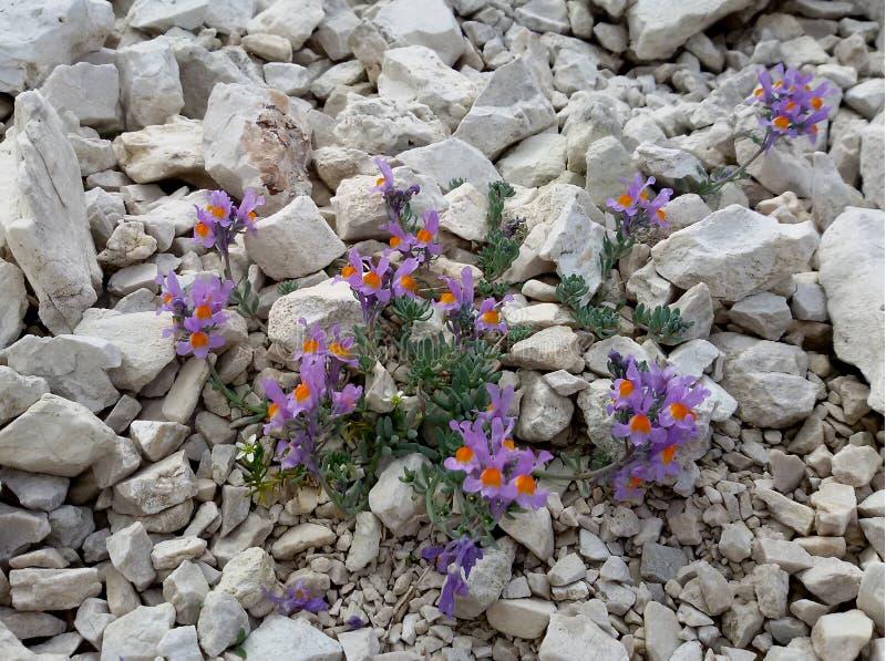 Linaria alpina royalty free stock photo