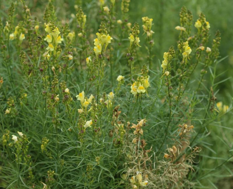 Linaria vulgaris, names are common toadflax, yellow toadflax, or butter-and-eggs, blooming in the summer stock image