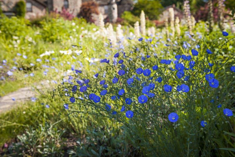 Linblommor i sommarträdgård royaltyfri foto