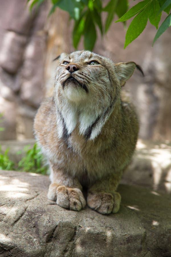 Lince Cat Crouching Outdoors Minnesota imágenes de archivo libres de regalías