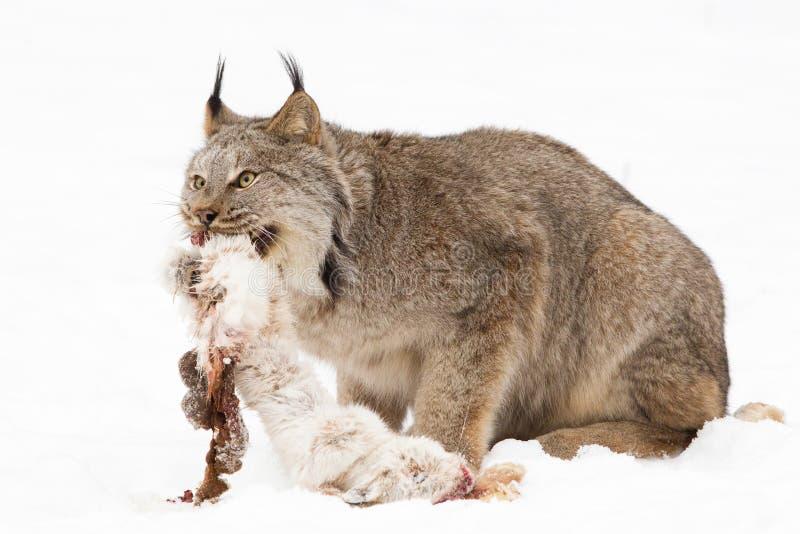 Lince com a lebre recentemente matada da sapata da neve fotografia de stock royalty free