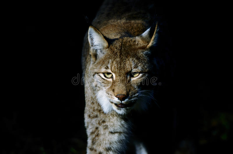 Lince do lince foto de stock royalty free