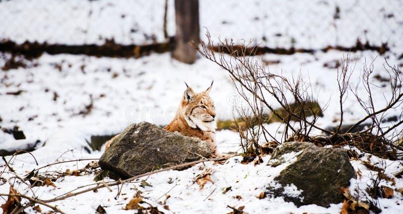 Lince en invierno imagen de archivo