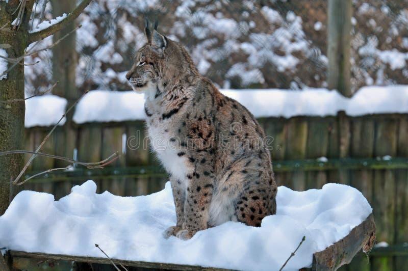 Lince en invierno en el parque zoológico fotografía de archivo