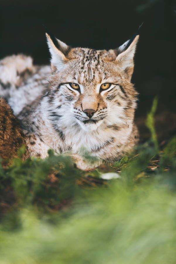 Lince eurasiático joven que se acuesta en hierba foto de archivo