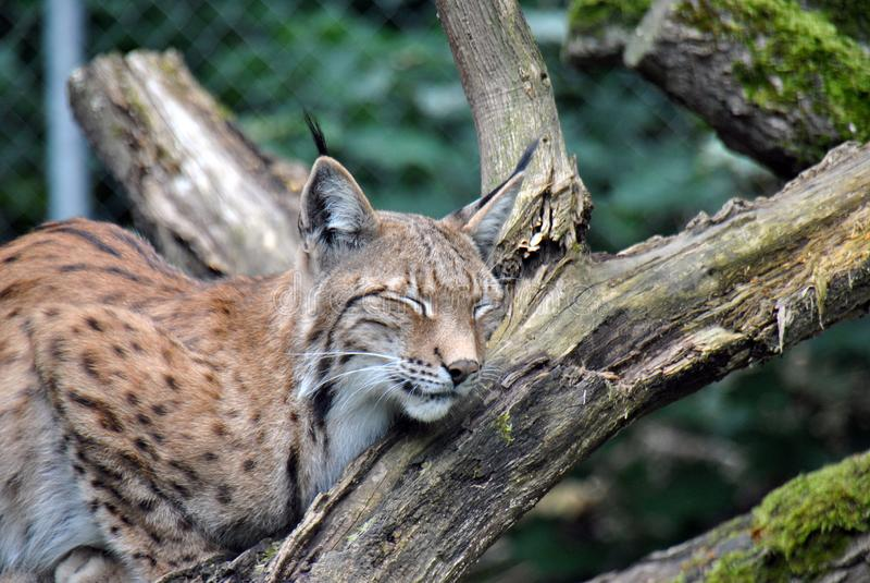 Lince europeo simile a pelliccia e sveglio che dorme su un ramo di albero immagini stock libere da diritti