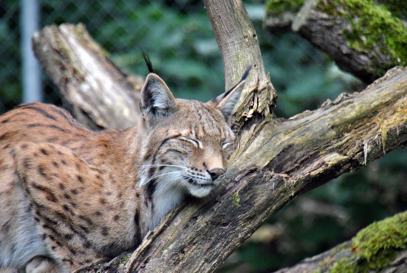 Lince europeu peludo e bonito que dorme em um ramo de árvore imagens de stock royalty free