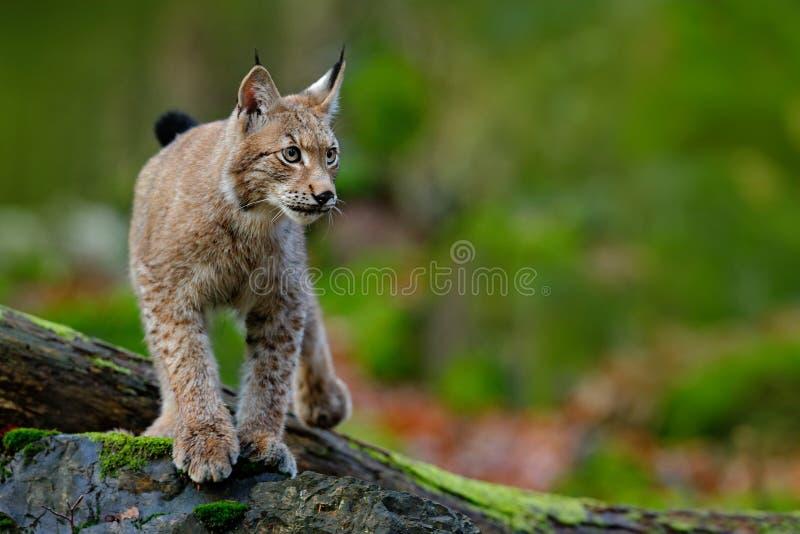 Lince, gato salvaje eurasiático que camina en piedra verde del musgo con el bosque verde en el fondo, animal en el hábitat de la  foto de archivo libre de regalías