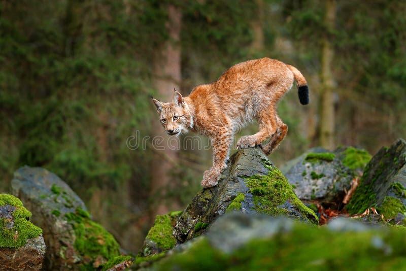 Lince, gato salvaje eurasiático que camina en piedra verde del musgo con el bosque verde en fondo Animal hermoso en el hábitat de fotografía de archivo