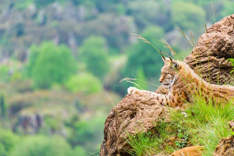Lince iberico che riposa sopra una roccia fotografie stock