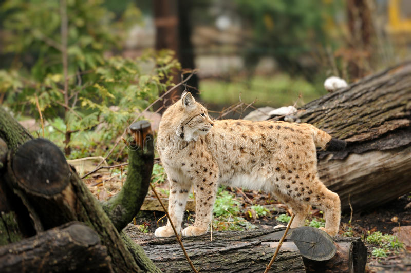 Lince joven