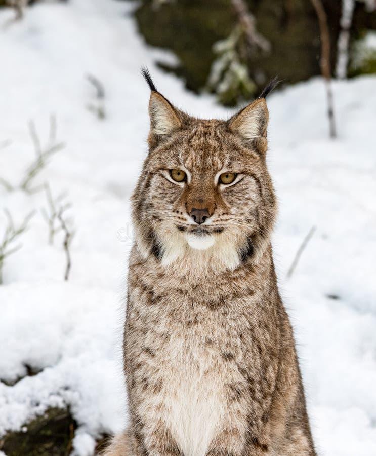 Lince, lynnx di Lynx, sedendosi nella neve, guardante in camera immagini stock libere da diritti