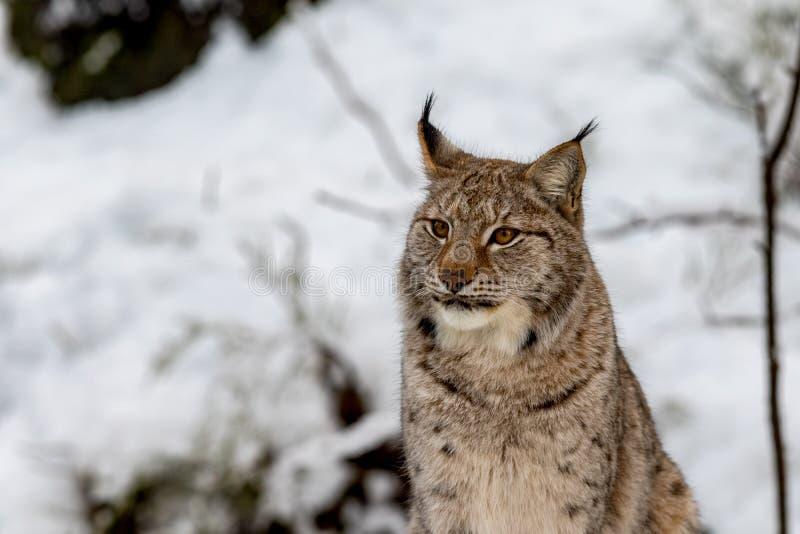 Lince, lynnx di Lynx, sedentesi nella neve fotografie stock libere da diritti