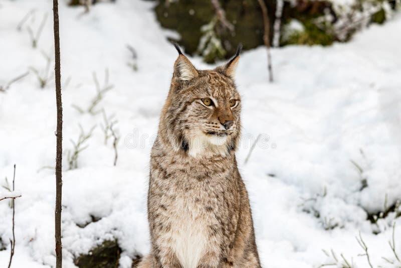 Lince, lynnx di Lynx, sedentesi nella neve che guarda alla destra immagine stock libera da diritti