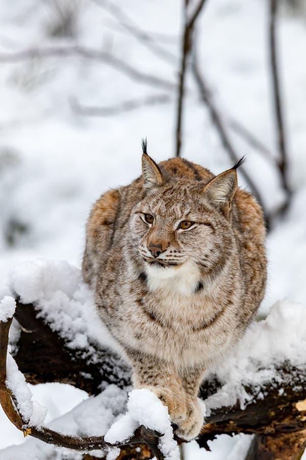 Lince, lynnx di Lynx, trovantesi su un albero nella foresta nevosa immagine stock libera da diritti