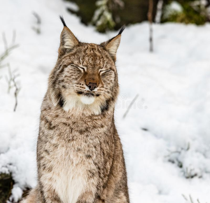 Lince, lynx lynx, sedentesi nella neve con gli occhi chiusi fotografia stock