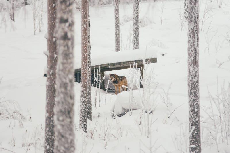 Lince na floresta do branco da neve fotografia de stock