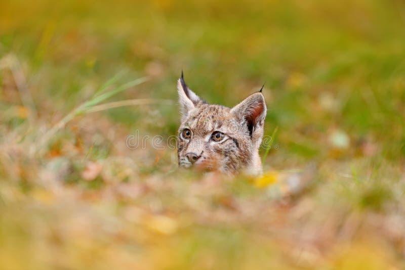Lince novo na cena verde dos animais selvagens da floresta da natureza Lince euro-asiático de passeio, comportamento animal no ha foto de stock royalty free