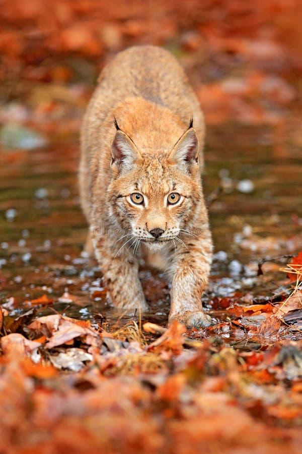 Lince que anda nas folhas alaranjadas com água Animal selvagem escondido no habitat da natureza, Alemanha Cena dos animais selvag imagens de stock