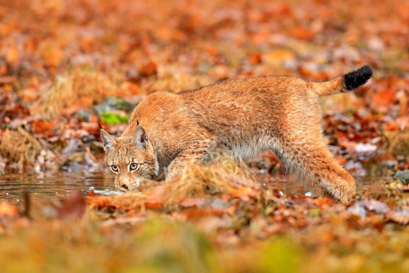 Lince que anda nas folhas alaranjadas com água Animal selvagem escondido no habitat da natureza, Alemanha Cena dos animais selvag imagens de stock royalty free