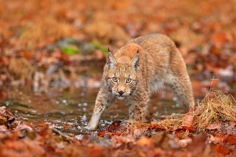 Lince que anda nas folhas alaranjadas com água Animal selvagem escondido no habitat da natureza, Alemanha Cena dos animais selvag fotografia de stock royalty free
