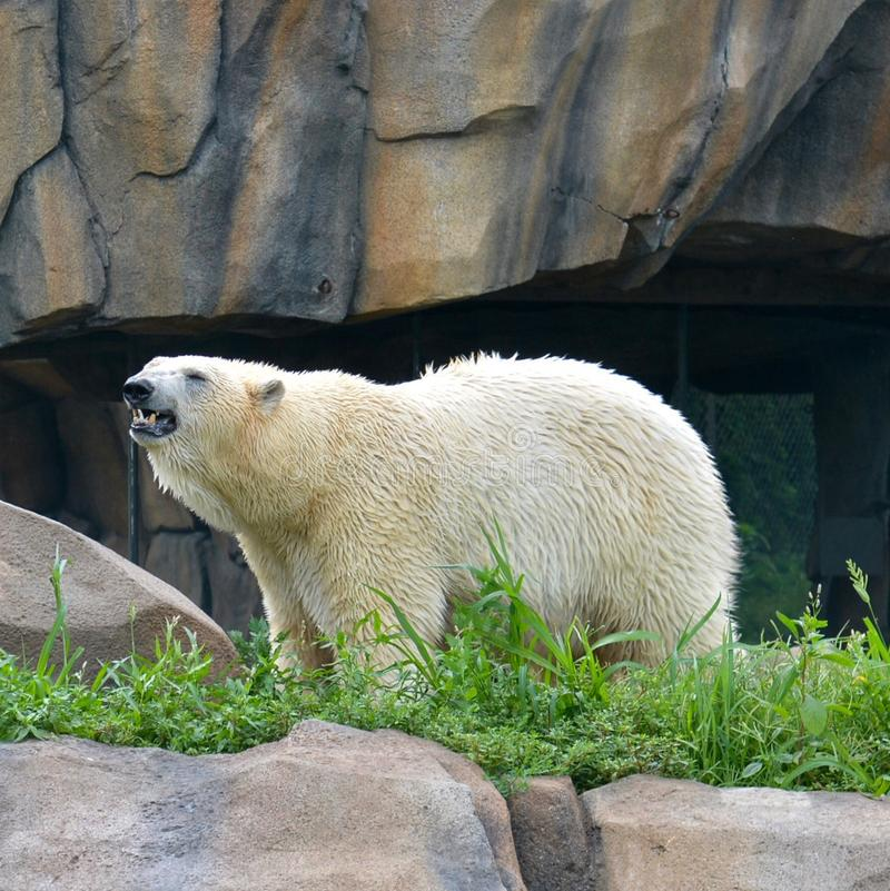 Lincoln Park Zoo Polar Bear #2. This is a Summer picture of a Polar Bear in its compound in the Lincoln Park Zoo located in Chicago, Illinois in Cook County royalty free stock photography