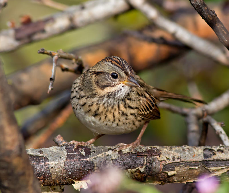 Download Lincoln's Sparrow stock image. Image of sparrows, migration - 39898063