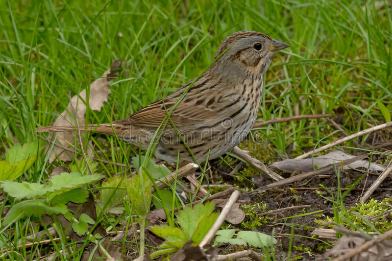 Lincoln's Sparrow. Walking in the grass royalty free stock images