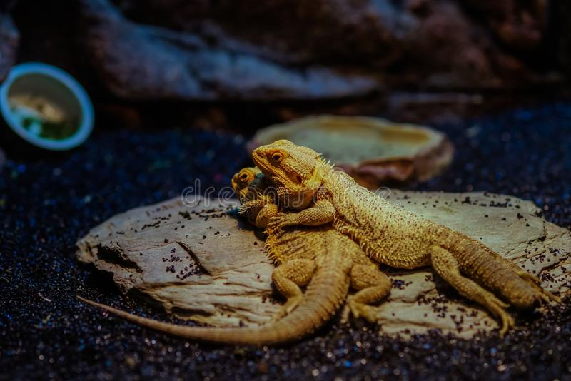 Lincolnshire Gebaard Dragon Reptiles royalty-vrije stock afbeelding