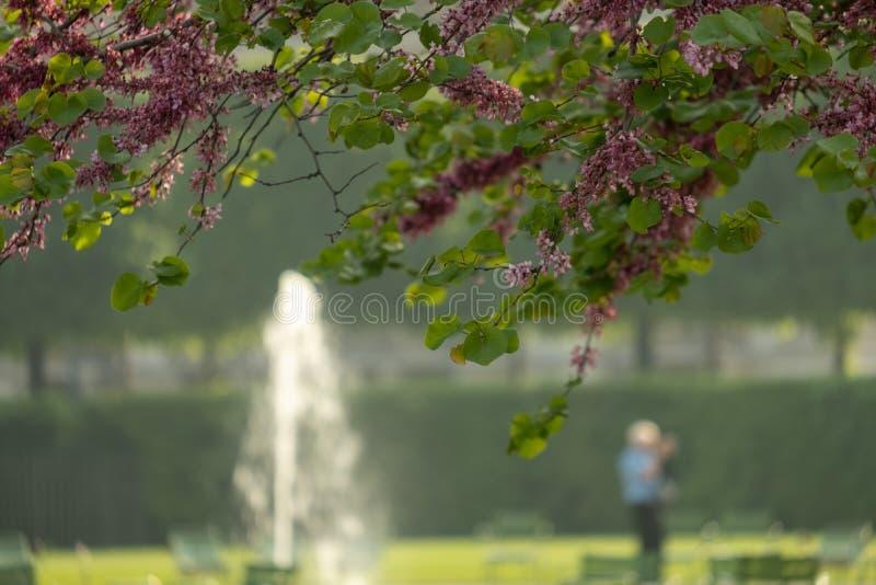 Linda árvore florescente com fonte despoletada no Jardim das Tuilarias, Paris foto de stock royalty free