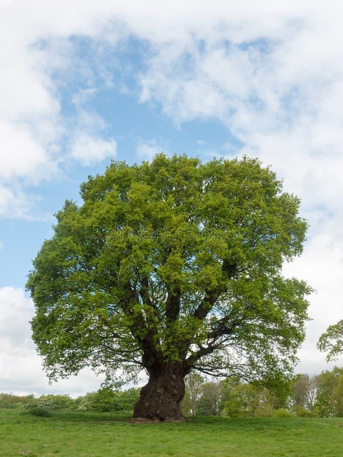 Linda árvore verde do lado de fora do verão, grama verde imagem de stock