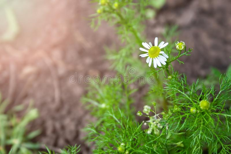 Linda flor de margarida com centro amarelo e pétalas brancas contra um fundo verde indefinido num dia ensolarado fotos de stock royalty free