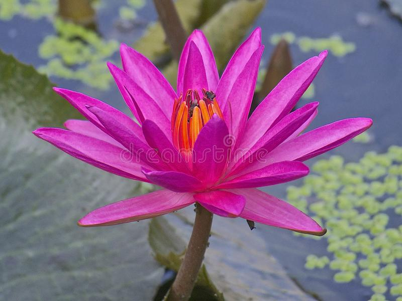 Linda flor rosa de lótus com abelha flutuando em água, lindas cores imagens de stock royalty free