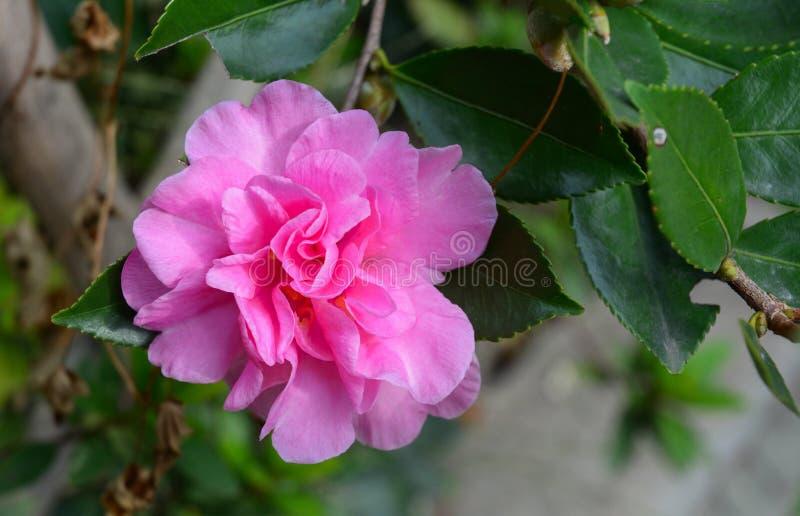 Linda flor vermelha de Camellia japonesa imagens de stock