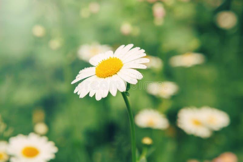 Lindas e bonitas flores margaridas e grama verde Camomila de plantas de jardim imagem de stock royalty free