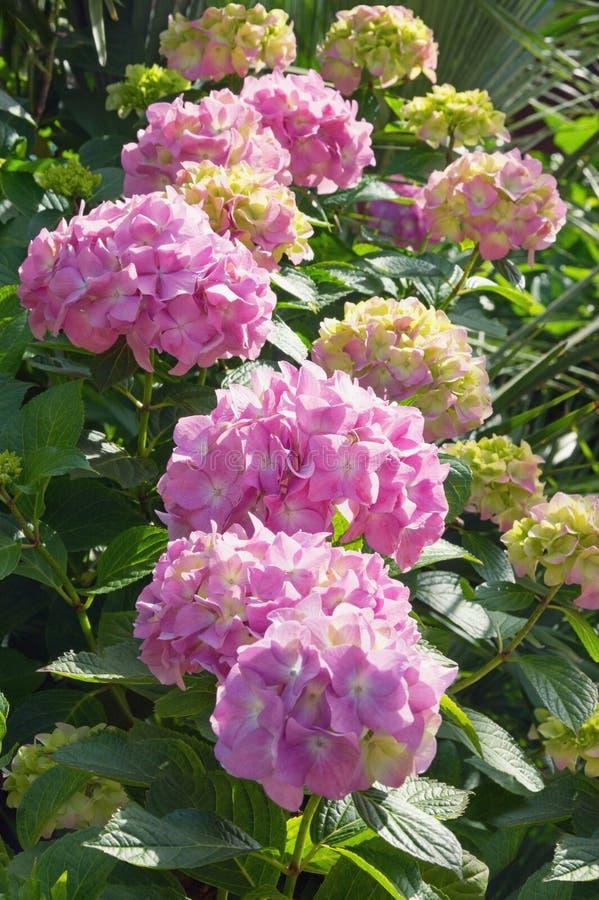 Lindas flores de Hydrangea no jardim no dia ensolarado imagem de stock