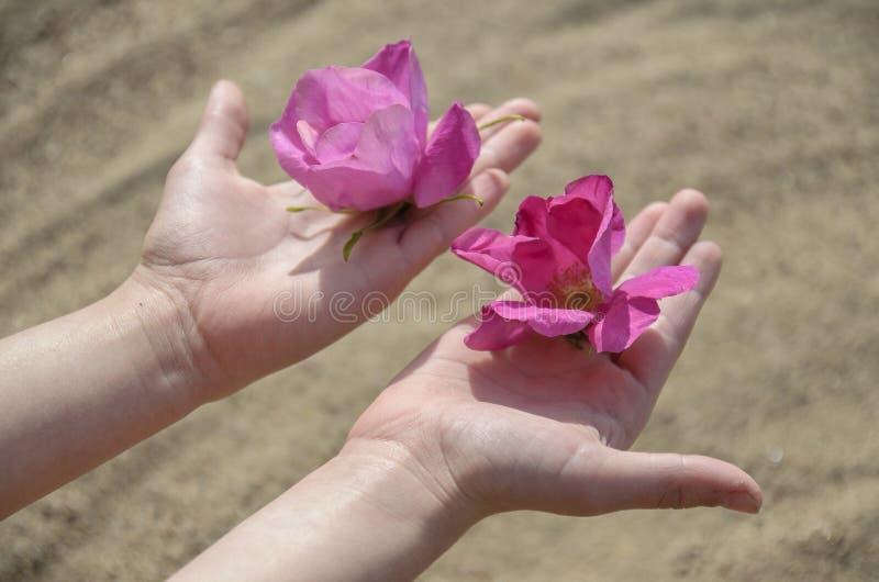 Lindas flores do florescente quadril de rosas do Norte estão nas mãos gentis de um jovem fotos de stock royalty free