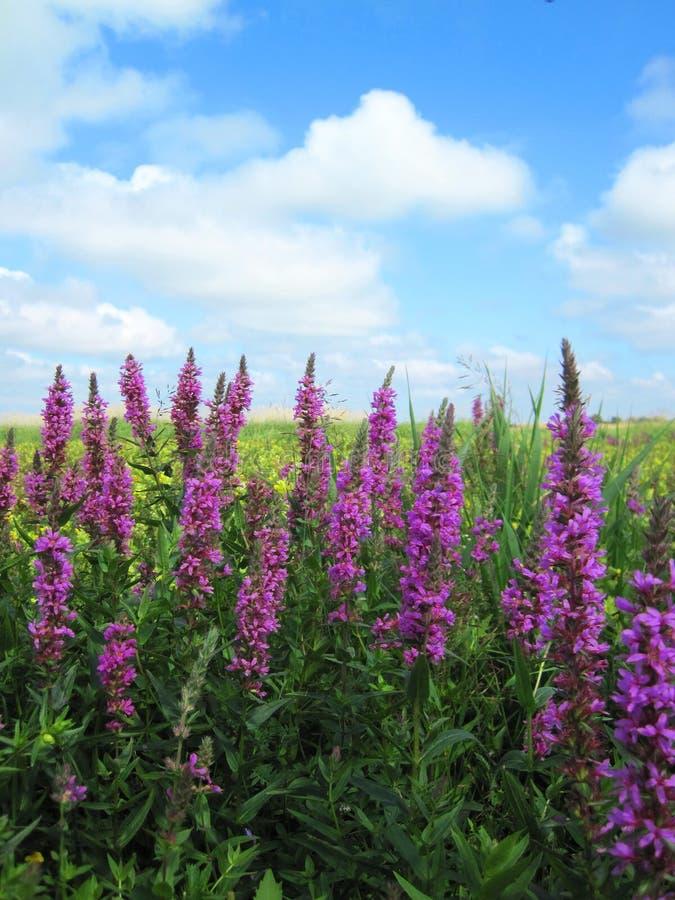 Lindas flores violetas selvagens no campo, Lituânia imagem de stock