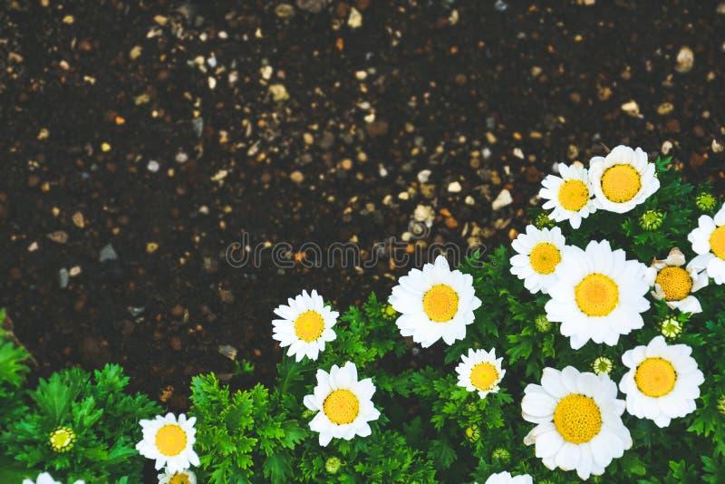 Lindas margaridas brancas ou flores de camomila florescendo na fronteira do solo negro, espaço de cópia, efeito de safra, conceit imagens de stock